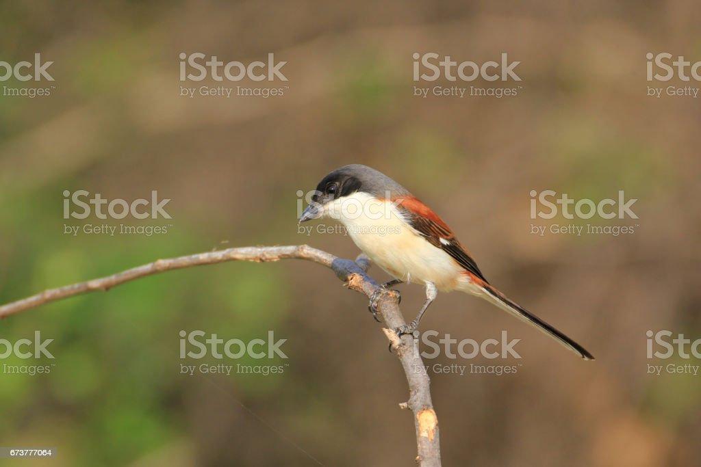 Bel oiseau noir et rouge, birman migratrice (Lanius collurioides) posé sur une branche photo libre de droits
