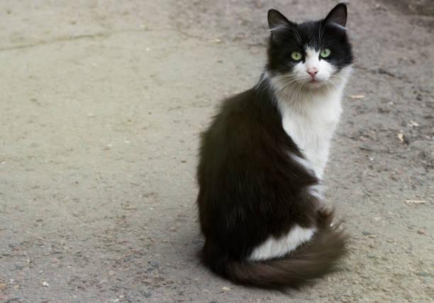 prachtige zwart-witte kat zittend op de straat, close-up, kopie-ruimte - hair grow cyclus stockfoto's en -beelden