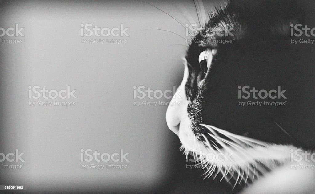 Beautiful black and white fatty cat.With copy space. stock photo