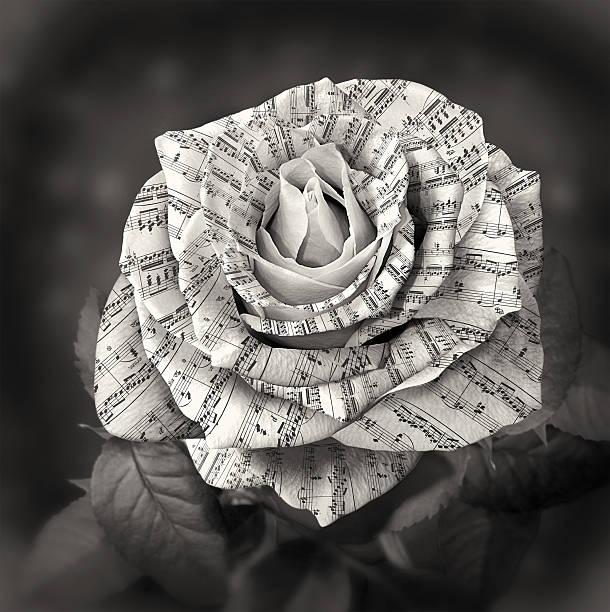 schöne schwarze und weiße rose mit hinweis auf die blütenblätter - piano noten stock-fotos und bilder