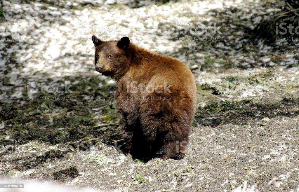 Beautiful Black Bear stock photo