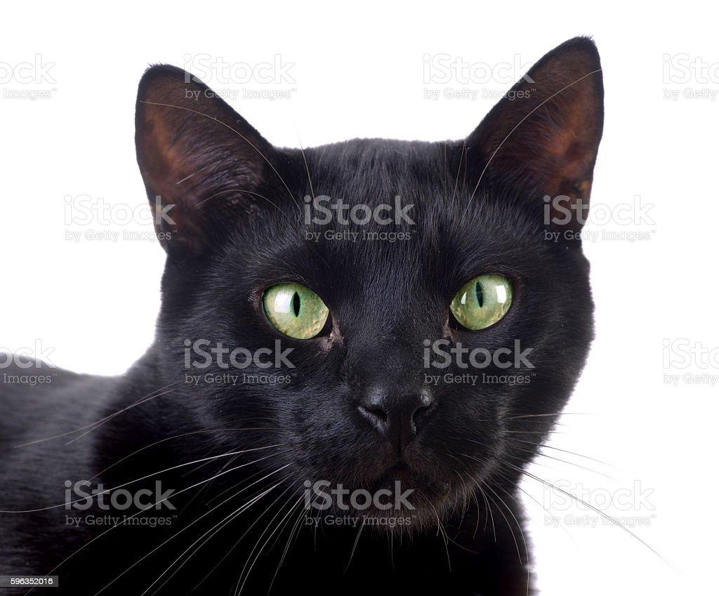 Beautiful black cat looking at camera royalty-free stock photo