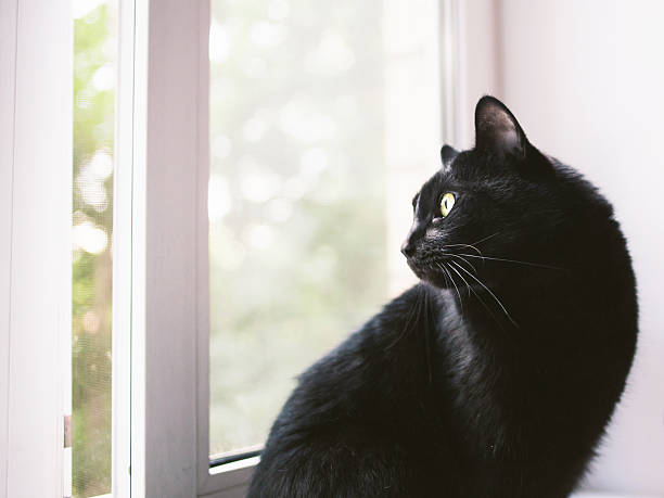 Beautiful black cat looking through the window picture id471620394?b=1&k=6&m=471620394&s=612x612&w=0&h=aszypb8mxkwyjkra2lgfr8nuwrgu tiizss7ogse8ga=