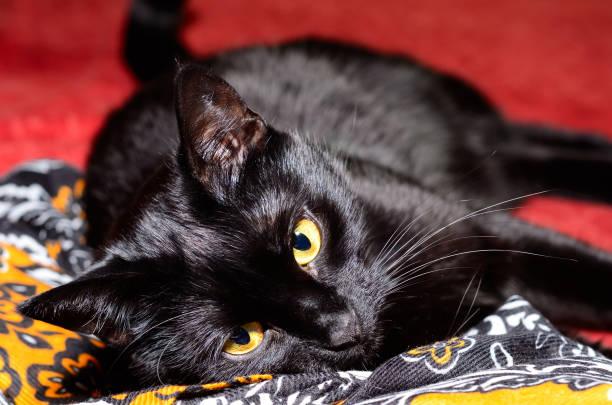 Beautiful black cat plays picture id870762172?b=1&k=6&m=870762172&s=612x612&w=0&h=6e4rrp8lwghacf mrn9re7t2o lzaolwluzijfutl m=