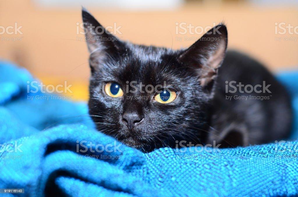 Beautiful black cat plays stock photo