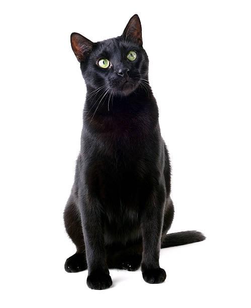 Beautiful black cat sitting picture id598069870?b=1&k=6&m=598069870&s=612x612&w=0&h=t6yvqen zwddm6orpx2i2d vm1vf9lxvxzbzs9g71ti=