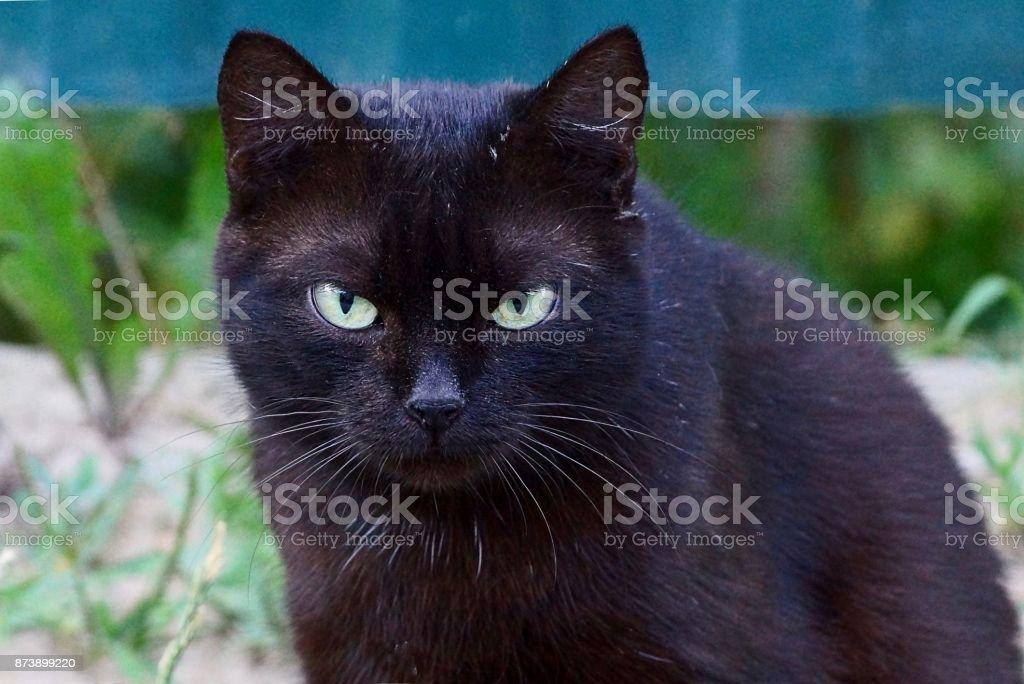 Beautiful Black Cat With Green Eyes On The Street Stock Photo Download Image Now Istock