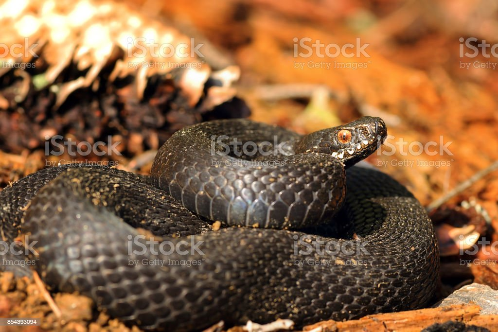 beautiful black common adder stock photo