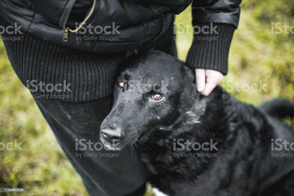 beautiful black dog walking with a man, the concept of loyalty and...