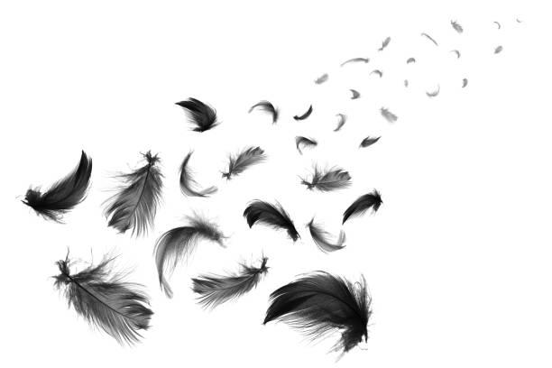 beautiful black feathers floating in air isolated on white background - feather stock photos and pictures