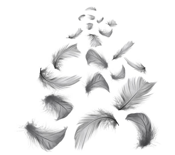 schöne schwarze federn in luft isoliert auf weißem hintergrund - pfau bilder stock-fotos und bilder
