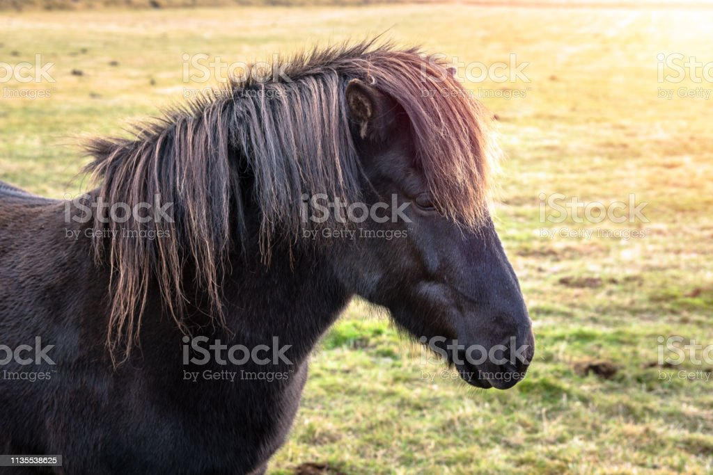 Beautiful Black Horse In A Farm In Iceland In Autumn Stock Photo Download Image Now Istock