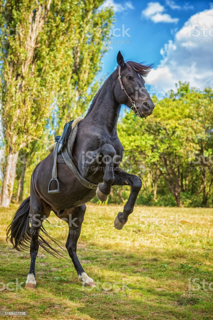 Beautiful Black Horse Stands On Its Hind Legs In Nature Stock Photo Download Image Now Istock