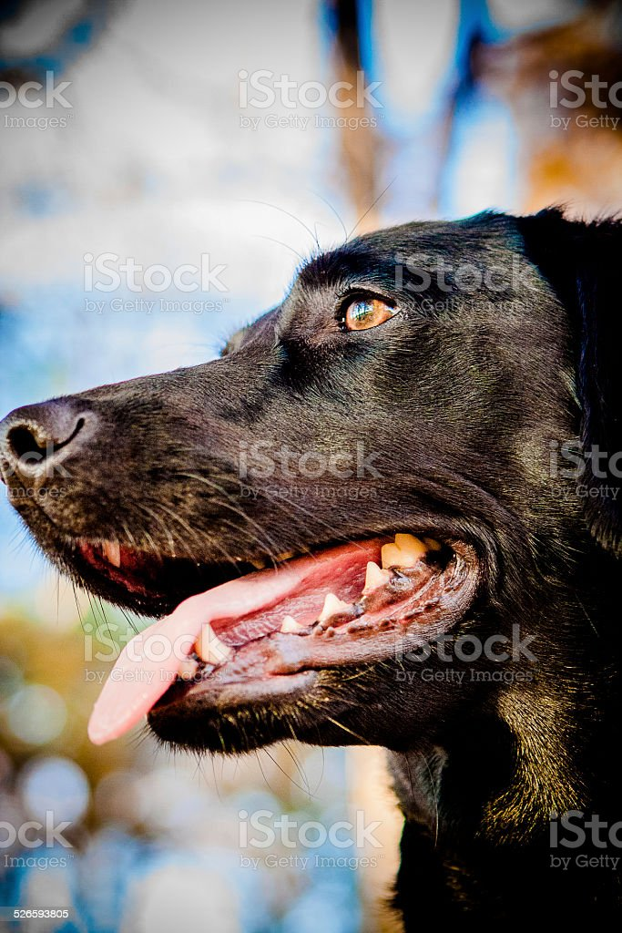 Beautiful Black lab against a blue sky stock photo