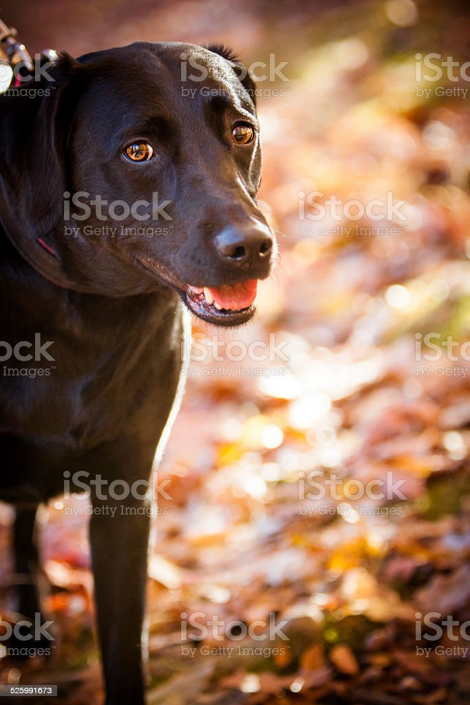 Beautiful Black lab playing in the Fall leaves stock photo