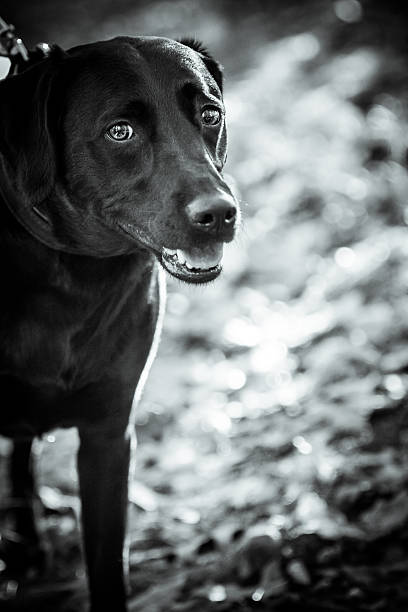 Beautiful Black lab playing in the leaves (Black & White) stock photo