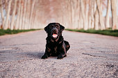 beautiful black labrador lying on a road at sunset Stop abandon concept