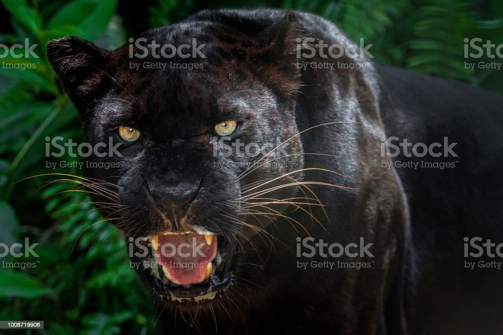 Beautiful black panther picture. stock photo