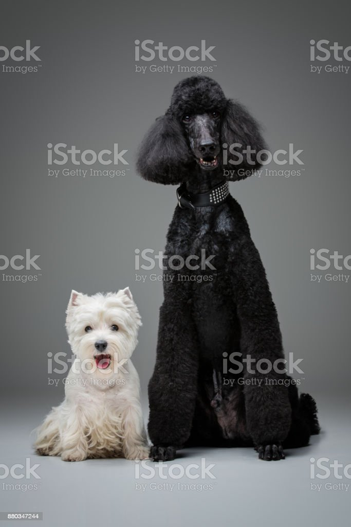 Beautiful Black Poodle And Westie Dogs On Grey Background Stock Photo Download Image Now Istock