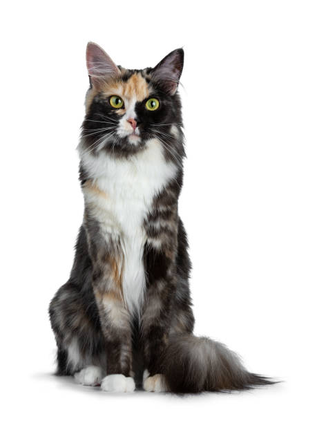 Smokey Maine Coon Stock Photos, Pictures & Royalty-Free Images - iStock