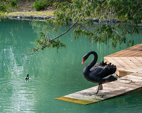 Beautiful black swan Cygnus Atratus descends on wooden deck into emerald water.  Pond called Big Lake with Swan Island. Sunny spring day in Arboretum Park Southern Cultures in Sirius (Adler) Sochi.