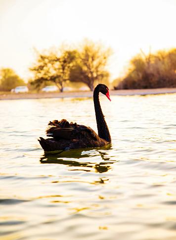 A Beautiful Black Swan on the water (Cygnus atratus). Al Qudra lake, Dubai, UAE.