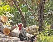 The rooster is standing on a logs