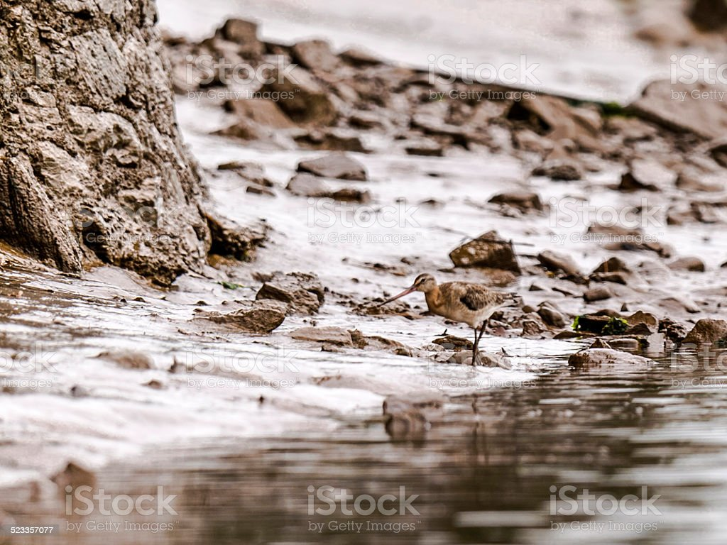 Beautiful Black-Tailed Godwit [Limosa] stock photo