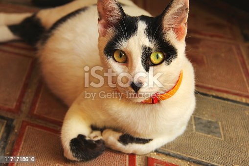 Beautiful black-white cat with beautiful eyes lies on the floor