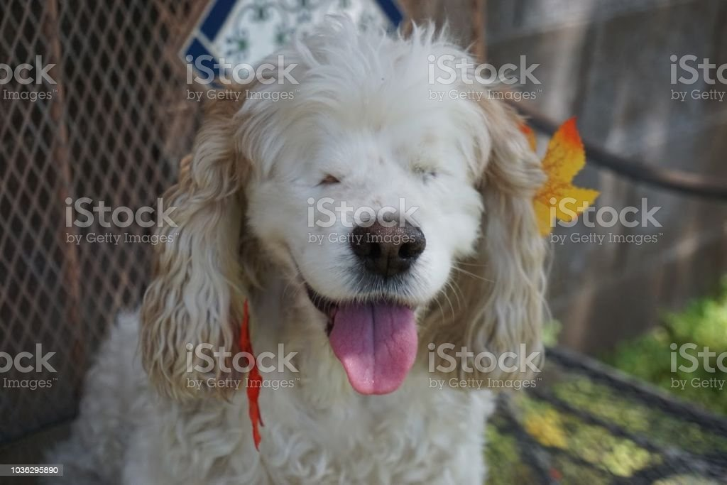 Beautiful Blind Cocker Spaniel Dog Fall Leaves stock photo