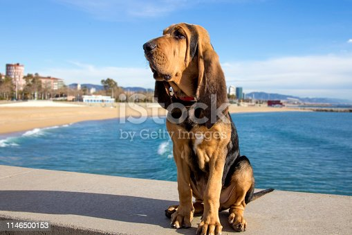 A beautiful bloodhound puppy at 5 months sits on the backdrop of the sea on a sunny day.