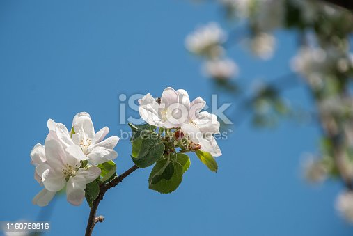 Beautiful blooming apple trees in spring park close up