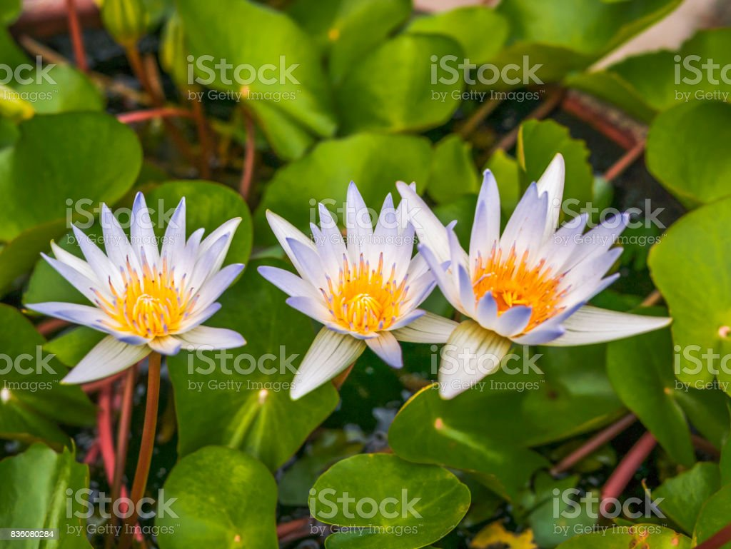 Beautiful Blooming Blue Lotus Flower In The Pond Stock Photo More