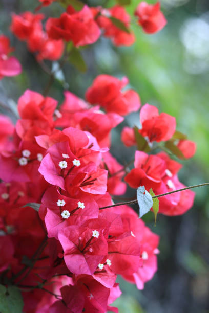 Beautiful blooming bougainvillea flowers in spring after rain stock photo