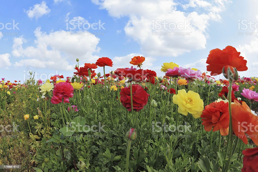 Beautiful blooming buttercups royalty-free stock photo