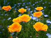 Close up of some CA poppy flowers.Shot with Canon EOS 7d and 24-70L lens.