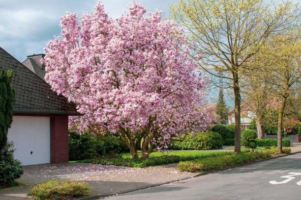 Schöner, blühender Kirschbaum. – Foto