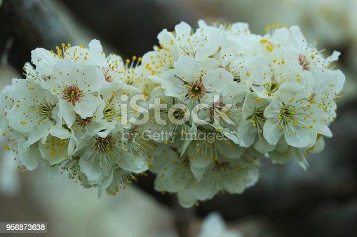 istock beautiful blooming cherry tree 956873638