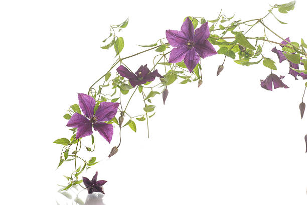 beautiful blooming clematis圖像檔