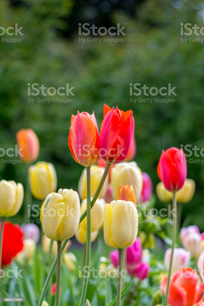 Beautiful blooming colorful Tulip flower wallpaper in the garden - Stock image .