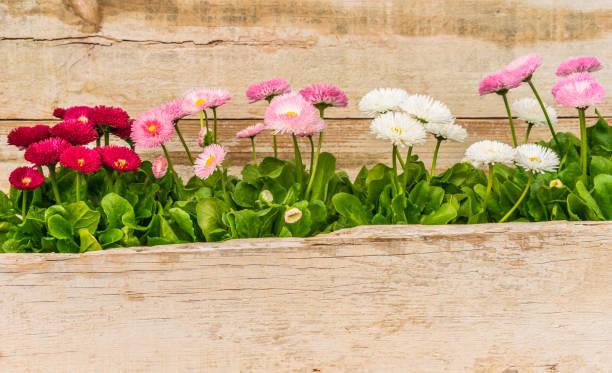 mooie bloeiende madeliefjebloemen met houten achtergrond en kopie ruimte - madeliefje stockfoto's en -beelden