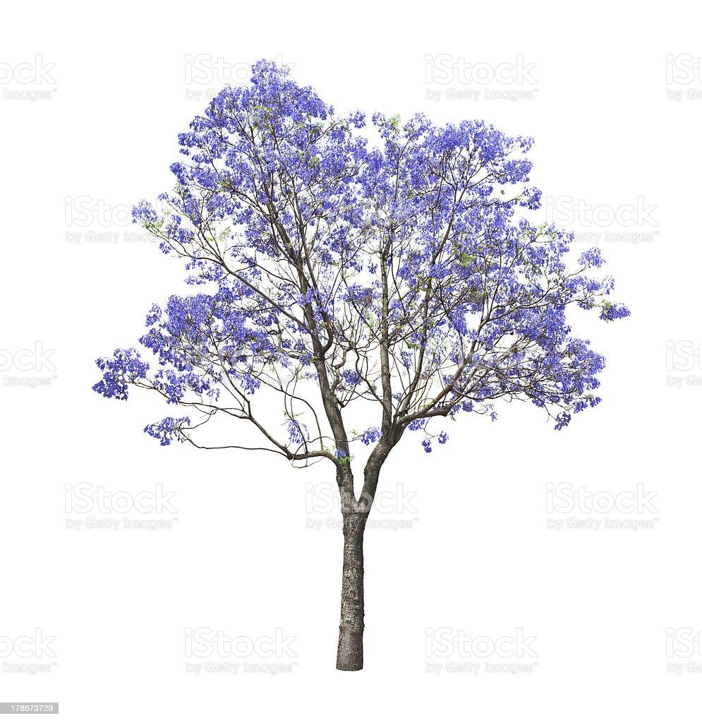 beautiful blooming Jacaranda tree stock photo