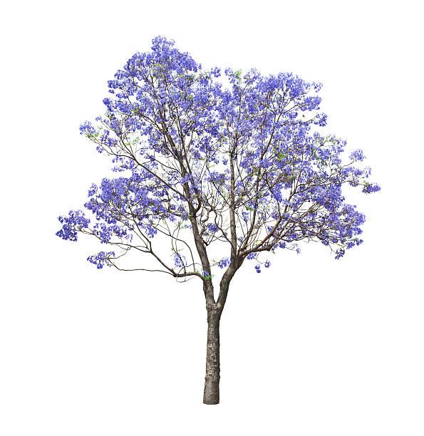 4 665 Jacaranda Tree Stock Photos Pictures Royalty Free Images Istock