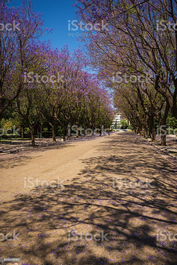 Beautiful Blooming Jacaranda Trees In Athens Greece Stock Photo