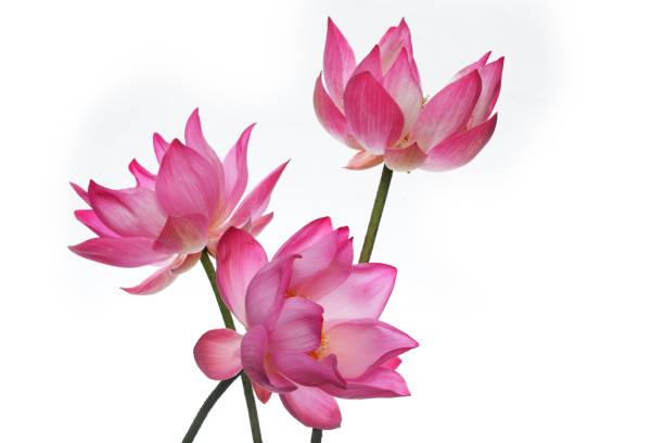 schönen blühenden lotusblume isoliert auf weißem hintergrund. - lotus symbol stock-fotos und bilder
