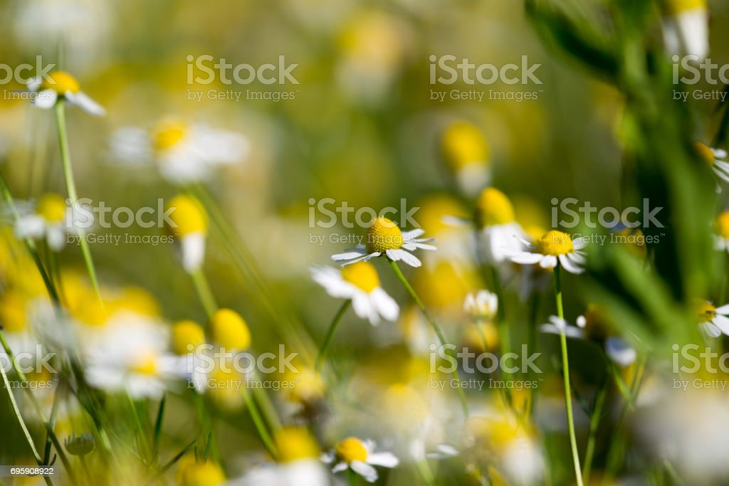 Beautiful blooming medical chamomiles in sun flare. Alternative medicine Spring Daisy. Summer flowers. Beautiful meadow. flowers background stock photo