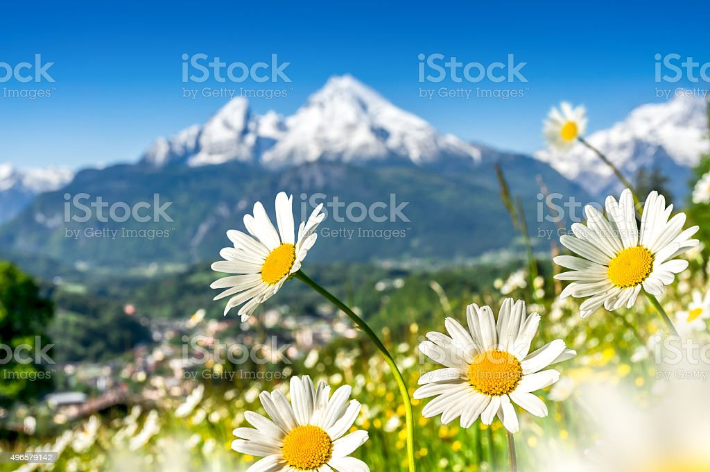 Beautiful blooming mountain flowers in snowcapped Alps in spring stock photo