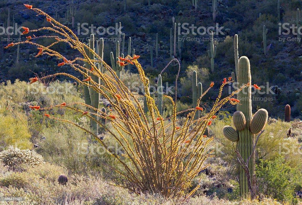 Beautiful blooming Ocotillo royalty-free stock photo