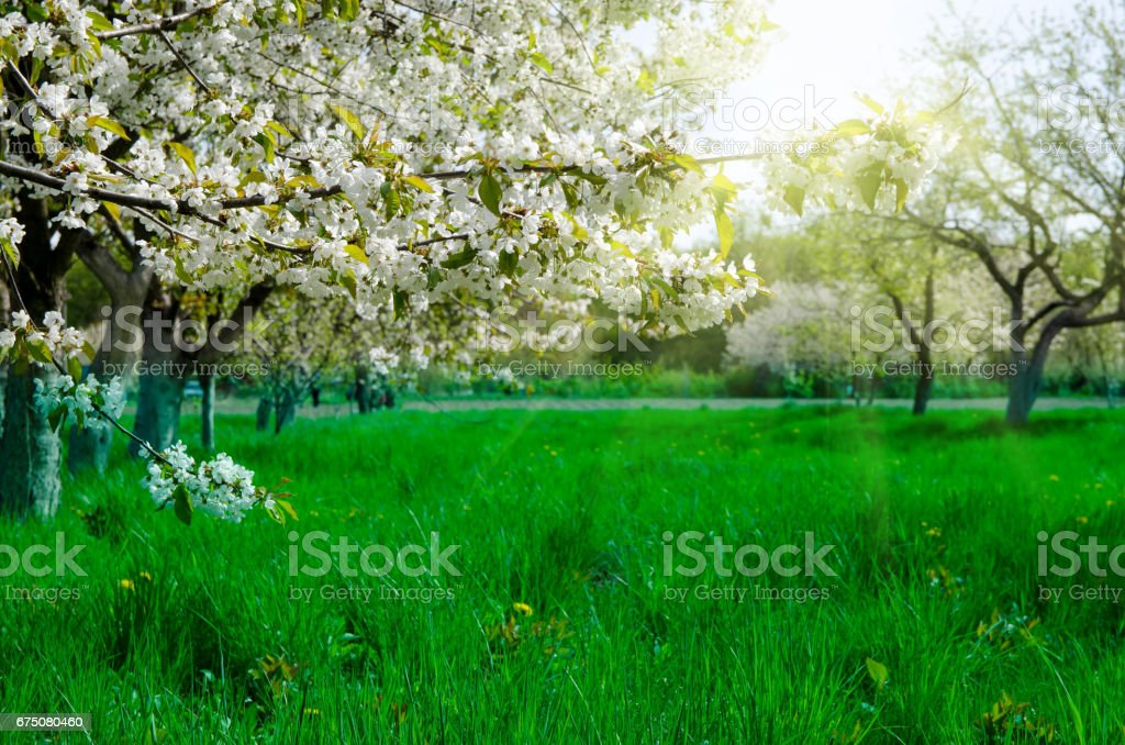 Beautiful blooming of fruit trees  in colorful vivid spring park full of green grass, dawn early light with first sun rays stock photo