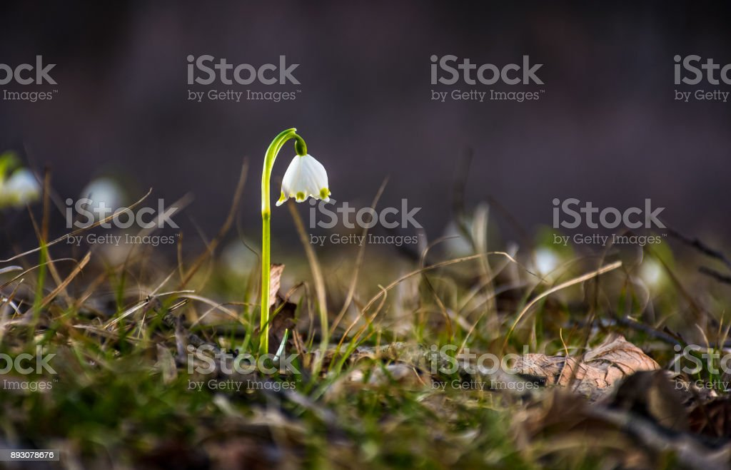 Beautiful blooming of White spring Snowflake stock photo